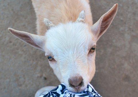 Goat, Baby, Eating, Shirt, Cute, Kid, White, Mammal