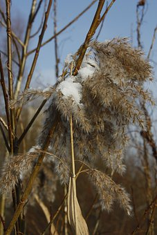 Winter, Snow, Ice, Frost, Reeds, Dry, Plant, Dead