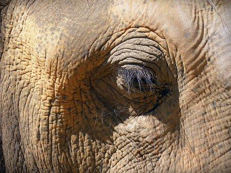 Eye, Elephant Eye, Skin, Eyelashes, Wrinkled, Elephant
