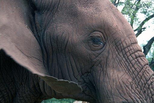 African Elephant, Eye, Ear, Animal, Mammal, Nature