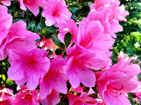 Pink Flowers, Rhododendrons, Flanging Tool, Color Pink