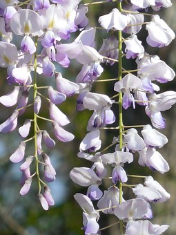 Wisteria, Bloom, Purple, Flower, White, Lilac, Spring