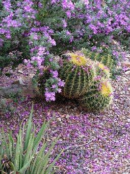 Purple Sage, Texas Ranger, Leucophyllum