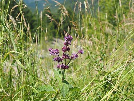 Salvia Verticillata, Sage, Flowers, Violet, Purple