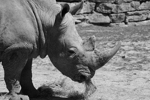 White Rhino, Zoo, Africa, Wild Animal, Wrinkles