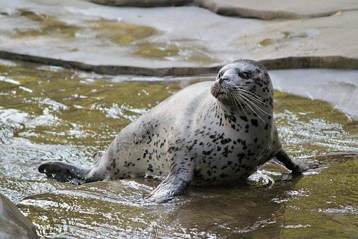 Seal, Ploutvonožec, Beast, Water, Zoo, Mammal, Animal