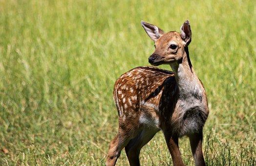 Fawn, Kitz, Young Animal, Mammal, Animal, Animal World