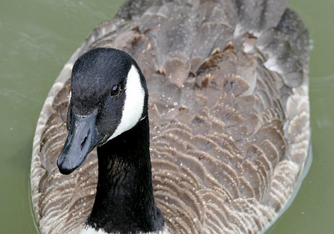 Nature, Animals, Canada Goose, Close, Bill, Neck, Head