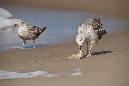 The Seagull, Booty, Catch, Fishy, Beach, Sand, Hunt