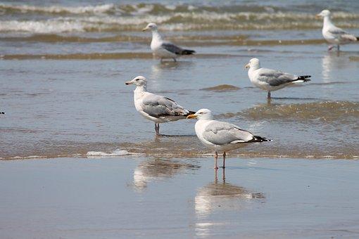 Silver Gulls, Beach, Sea Birds, Larus Argentatus, Birds