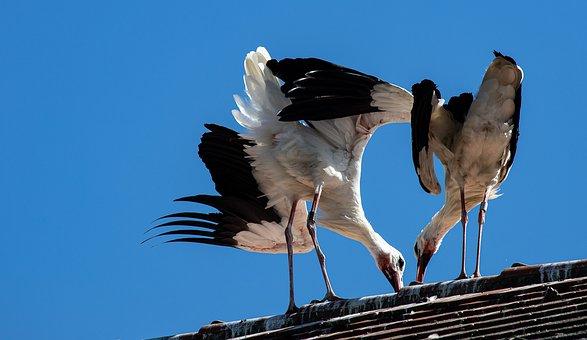 Stork, Storks, Bird, Animal, Animal World, Rattle Stork