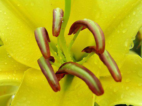 Lilies, Yellow, Flowers, Bloom, Stamp, Close Up, Garden
