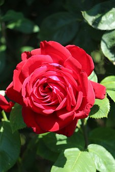 Rose, Blossom, Bloom, Flower, Romantic, Love, Nature