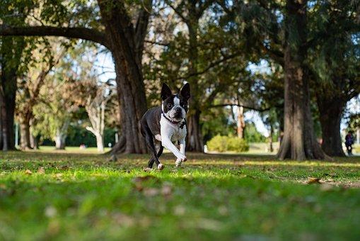 Dog, Puppy, Cachorro, Bostonterrier, Cute, Animal