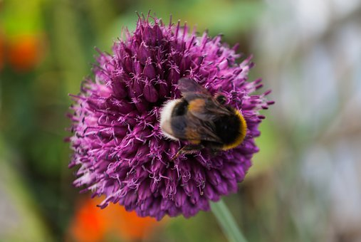 Kogeldistels, Thistle, Vegetable, Flower, Bumblebee