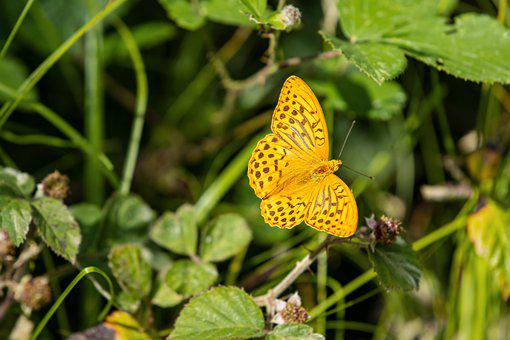 Fritillary, Butterfly, Insect, Nature, Edelfalter