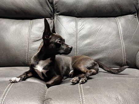 Chihuahua, Choweenie, Dog, Canine, Pose, Model, Pet
