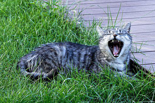 Cat, Yawn, Enjoy The Sun, Domestic Cat, Animal, Pet