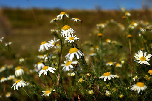 Flower Meadow, Flowers, Bloom, Chamomile