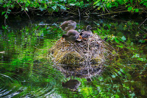 Ducks, Chicks, Nest, Island, Water, Plumage, Water Bird
