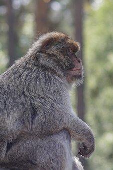 Barbary Ape, Portrait, Close Up, Monkey, Furry