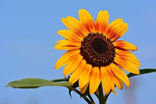 Sunflower, Raindrop, Nature, Blossom, Bloom, Close Up