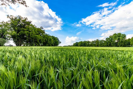 Cornfield, Agricultural, Cereals, Nature, Agriculture