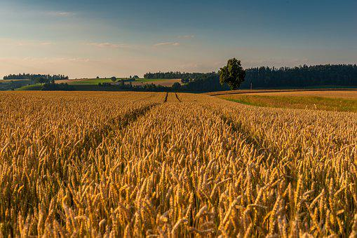 Summer, Cereals, Evening, Cornfield, Field, Landscape