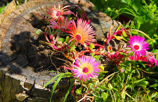 Flowers, Daisies, Bloom, Nature, Blossom, Summer, Pink