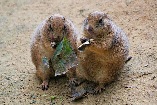 Prairie Dogs, Rodents, A Pair Of, Food, Sand, Desert