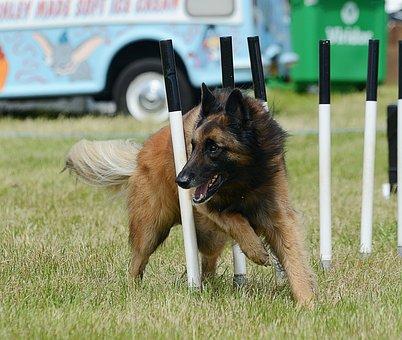 Agility, Dog, Belgian Shepherd, Tervuren, Weaves, Pet