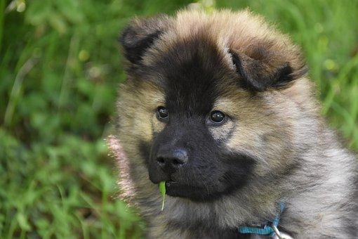 Dog, Puppy, Pup, Dog Eurasier, Bitch Plinn-blue