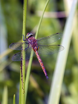 Dragonfly, Red, Common, Darter, Insect, Nature, Summer