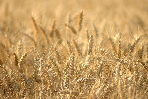 Wheat, Epi, Summer, Field, Agriculture, Nature, Harvest