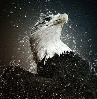 Adler, Bald Eagle, Eyelid, Eye, Protection, Bird