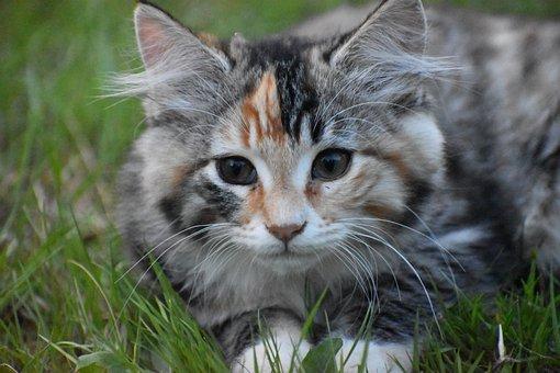 Cat, Kitten, Pet, Cute, Animal, Feline, Eyes, Kitty