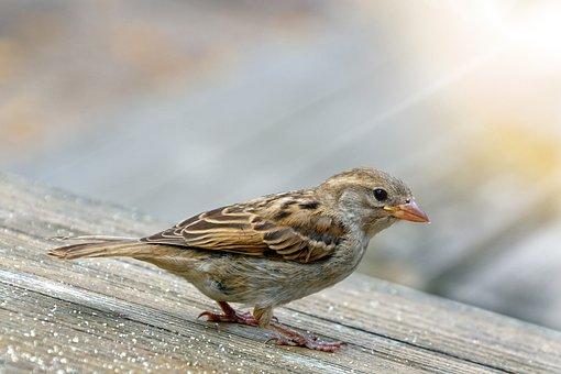 Sparrow, Sperling, Bird, Plumage, Feather, Animal