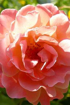 Rose, Flower, Flora, Orange, Pink, Nature, Stamen