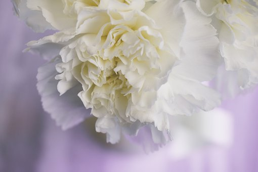 Flowers, Flower, Blooming, Clove, Carnation, Petals