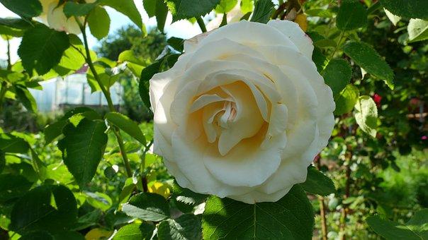 Rose, Flower, Summer, Plant, Beauty, Love, Garden