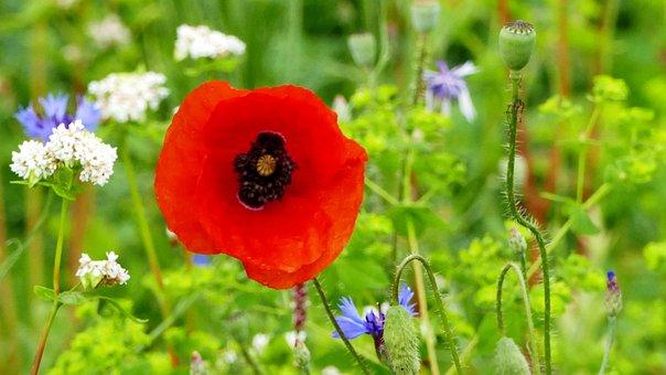 Landscape, Nature, Meadow, Poppy, Cornflower, Flowers