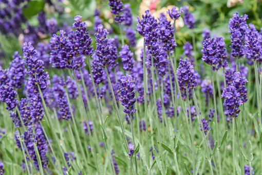 Plant, Lavender, Nature, Purple, Flowers, Summer
