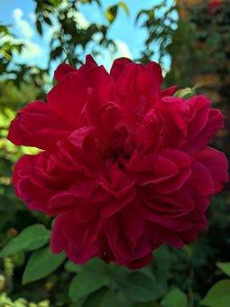 Red, Rose, Flower, Fresh, Beautiful