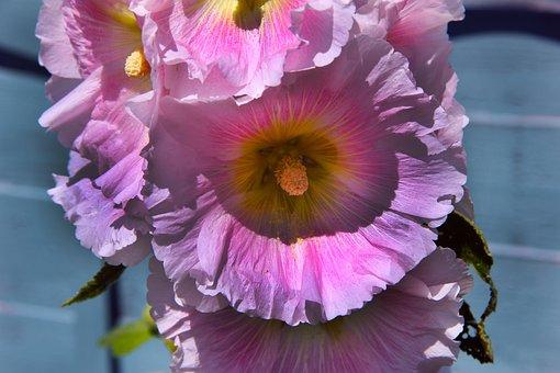 Hollyhocks, Flowers, Bloom, Plant, Summer, Garden