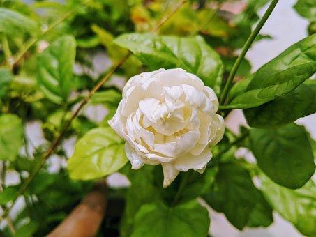 Lavender, Flower, Close Up, White, Garden