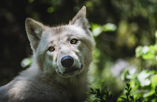 Wolf, Animal, Wolves, Forest, Garden, Zoo