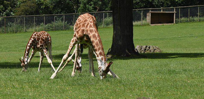 Giraffes, Mother, Young, Nature, Animals, Wildlife