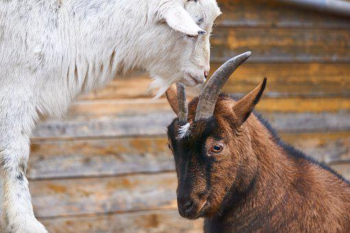 Goats, Fight, Deals, Bellows, Get It All, Play, Bock