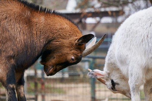 Goats, Fight, Deals, Bellows, Get It All, Play, Bock