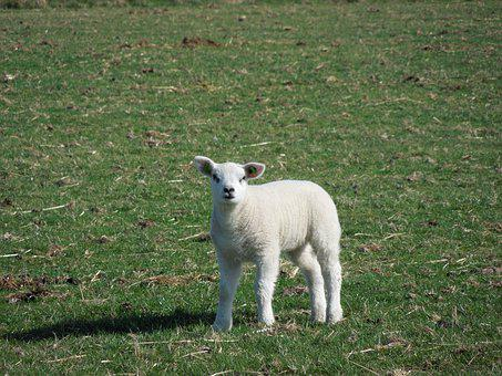 Sheep, Green, Lamb, Grass, Spring, Nature, Meadow, Cute
